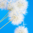 Dandelions — Stock Photo #26226961