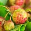Unripe strawberry — Stock Photo #27028601