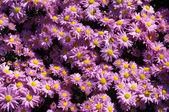 Chryzantéma záhon — Stock fotografie