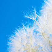 Dandelions close-up — Stock Photo