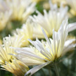 Stock Photo: Chrysanthemum flower bed
