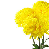 Yellow chrysanthemum — Stockfoto