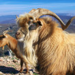 Mountain goats — Stock Photo