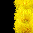 Yellow chrysanthemum — Lizenzfreies Foto