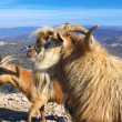 Mountain goats — Stock Photo #40330307