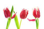 Tulips on white — Stock Photo