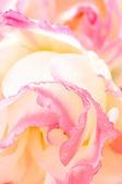 Eustoma flower close-up — Stock Photo