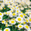 Daisy flower bed — Stock Photo #42105197