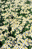 Daisy flower bed — Stock Photo