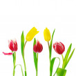 Tulips on white — Stock Photo