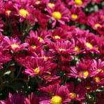 Chrysanthemum flower bed — Stock Photo #45202441