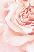Rose close-up — Stock Photo