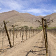 Vineyard cultivation, Andes. Chile — Stock Photo