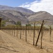 Vineyard cultivation, Chile — Stock Photo