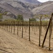 Постер, плакат: Farmland of vineyard northern desert of Chile