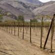 Farmland of vineyard northern desert of Chile - Stock Photo