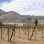 Farmland of vineyard — Stock Photo