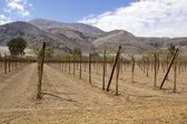 Farmland of vineyard — Stock Photo