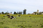 Herd of cows resting in Uruguay. — Stock Photo