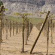 Chilean vineyards — Stock Photo
