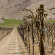 Vineyard cultivation — Stock Photo #21533801
