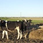 Постер, плакат: Cows in Group Latin American pampas