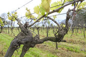 Uruguayan wine grapevines. — Stock Photo
