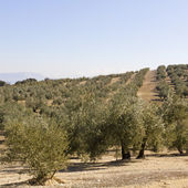 An olive grove in Sevilla — Stock Photo
