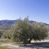 Olive orchards — Stock Photo