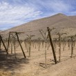 Vineyard cultivation — Stock Photo #34795873