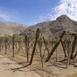 Vineyard cultivation — Stock Photo
