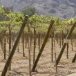 Vineyard vines — Stock Photo