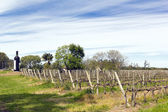 Uruguayan wine grapevines — Stock Photo