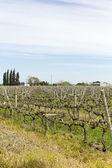 Videiras de vinho uruguaios — Fotografia Stock