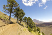Araucarias in Malalcahuello Park, Chile — Stock Photo