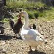 Chickens and geese on a farm. — Stock Photo #6995133