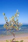 Small green olive tree near the beach, Greece — Stock Photo