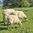 Sheep herd on mountain plateau pasture (Olympos mountain, Greece — Stock Photo #13916933