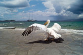 The famous Pelican of Mykonos island in Greece — Stock Photo