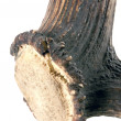 Stock Photo: Antler