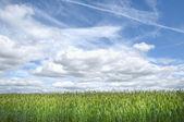 ライ麦畑 — ストック写真