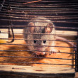 Mice caught in the cage mousetrap - Stock Photo