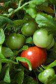 Tomato bush — Stock Photo