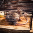 Mice caught in the cage mousetrap — Stock Photo