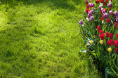 Tulip flowers and green grass background — Stock Photo