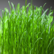 Fresh grass dense bunch — Stock Photo #16468877