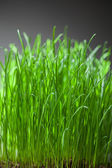 Fresh grass dense bunch — Stock Photo