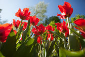 Tulips flowers, view from the bottom — Stock Photo
