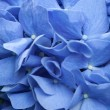 Background of blue hydrangeflowers — Stock Photo #17397125
