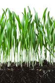 Herbe d'avoine et de racines dans la section de coupe transversale de sol — Photo